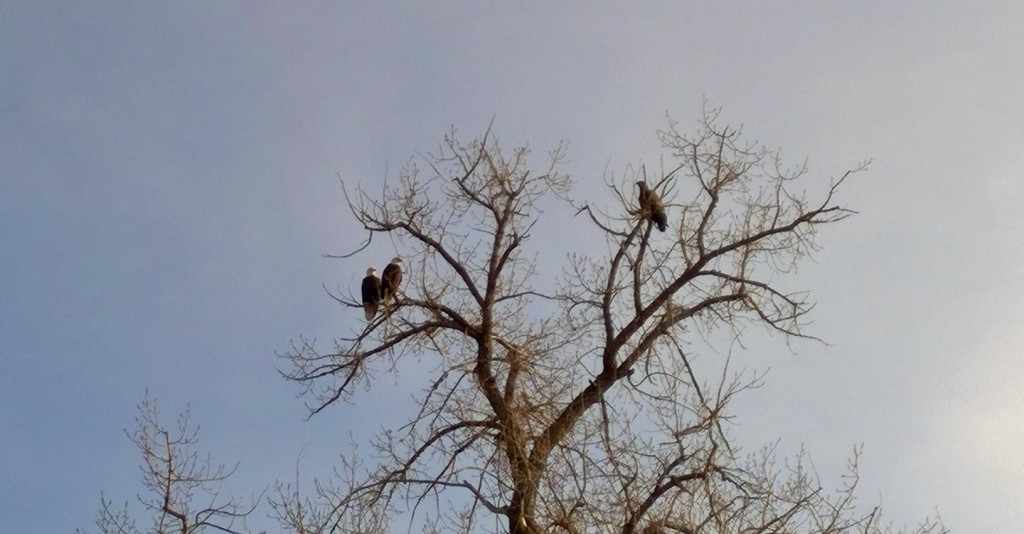 High in a tree staring down at the crew, two bald eagles and an eaglet.