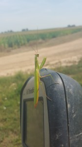 08.26.15 praying mantis